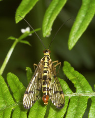 """Male Scorpion Fly (Panorpa germanica) • <a style=""""font-size:0.8em;"""" href=""""http://www.flickr.com/photos/57024565@N00/182373486/"""" target=""""_blank"""">View on Flickr</a>"""