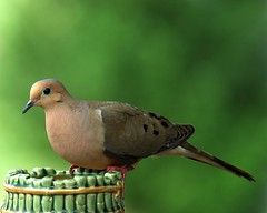 Mourning Dove (Momba (Trish)) Tags: bird nikon nikond70 dove interestingness1 feeder mourningdove nikkor momba cotcmostinteresting featheryfriday happyfeatheryfriday i500 lovephotography nikonstunninggallery june242006 explore07july2006 abigfave colorphotoaward superbmasterpiece commonnamemourningdove scientificnamezenaidamacroura
