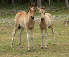 him and her (sure2talk) Tags: explore top20horsepix rhiannon loh foals newforestponies btlh exploreshot cmcaug06 pfogold beautifulworldchallenges