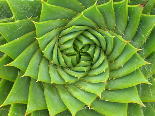 Aloe polyphylla Schönland ex Pillans by Flickr user brewbooks. Click image to view source.