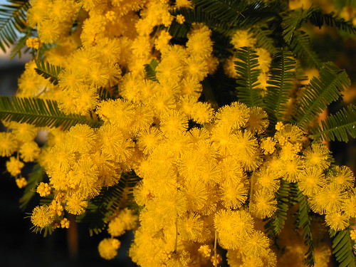 Mimosa close up, the Women's day flower in Italy.