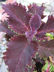 Coleus (Unknown Burgundy)