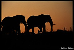BOTSUWANA - On their way home (BoazImages) Tags: africa sunset nature beautiful topv111 river ilovenature amazing wildlife exotic chobe africanelephants elepant specnature botsuwana