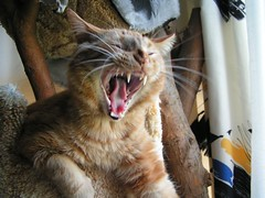 Yawning (averywehner) Tags: cat yawn kitty q catyawning creamsicles