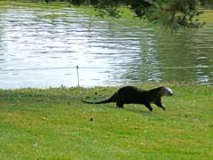 Get Outta Here!! (shesnuckinfuts) Tags: otters animalplanet backyardpond kentwa animaladdiction otterfamily shesnuckinfuts