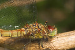 """Common Darter Dragonfly (sypetrum striolatum) • <a style=""""font-size:0.8em;"""" href=""""http://www.flickr.com/photos/57024565@N00/192668921/"""" target=""""_blank"""">View on Flickr</a>"""