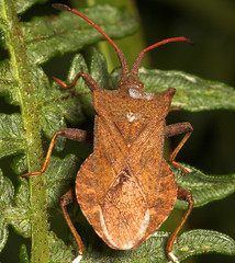 "Squash or Dock Bug (Coreus marginatus) • <a style=""font-size:0.8em;"" href=""http://www.flickr.com/photos/57024565@N00/194055390/"" target=""_blank"">View on Flickr</a>"