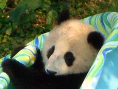 Comfy cozy (desbah) Tags: zoo panda taishan