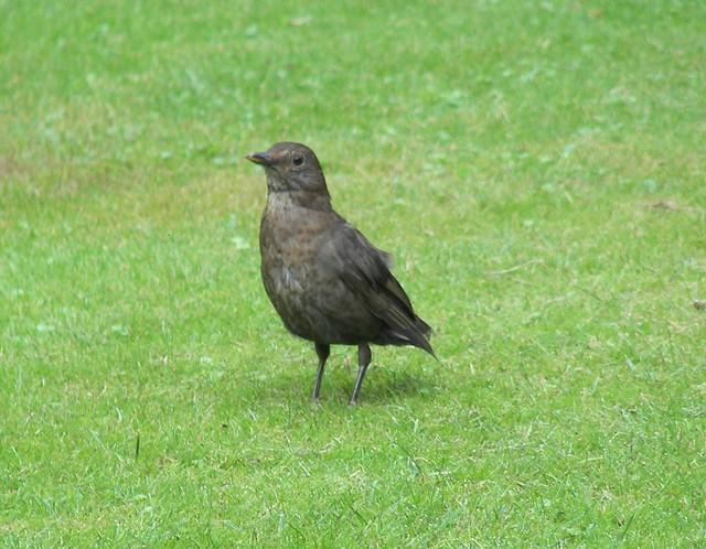 Blackbird, by, by