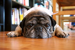 Roscoe the Pug With Ice Bag On His Head- Miserable in the Seattle Heat - by zoomar