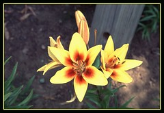 Yellow & Red Lilies