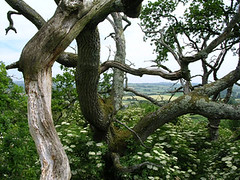 Cadbury Hill (greenchartreuse) Tags: uk greatbritain trees england unitedkingdom branches somerset hillfort cadburycastle cadburyhill southcadbury