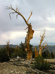 Ancient bristlecone pine trees (lumaka) Tags: california trees whitemountains inyonationalforest ancientbristleconepineforest theoldestlivingorganismsonearth