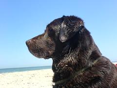 Bommel aan zee (essieprinsessie) Tags: pets labrador bommel