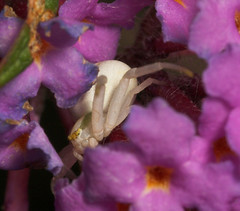 """Crab Spider (Misumena vatia)(5) • <a style=""""font-size:0.8em;"""" href=""""http://www.flickr.com/photos/57024565@N00/205808225/"""" target=""""_blank"""">View on Flickr</a>"""