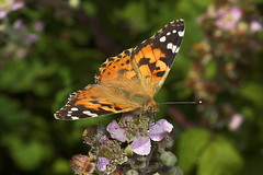 "Painted Lady Butterfly (vanessa cardu(5) • <a style=""font-size:0.8em;"" href=""http://www.flickr.com/photos/57024565@N00/207181187/"" target=""_blank"">View on Flickr</a>"