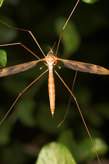 """CraneFly (Tipula Maxima) • <a style=""""font-size:0.8em;"""" href=""""http://www.flickr.com/photos/57024565@N00/207907292/"""" target=""""_blank"""">View on Flickr</a>"""