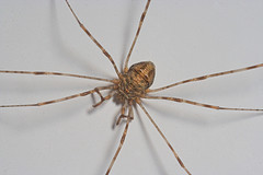 "harvestman (Order Opiliones) • <a style=""font-size:0.8em;"" href=""http://www.flickr.com/photos/57024565@N00/209901246/"" target=""_blank"">View on Flickr</a>"