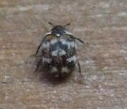 Little Tiny White Bugs My Carpet Carpet Vidalondon