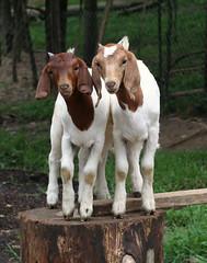 Sisters (Boered) Tags: kids sisters top20animalpix twins babies ears goats kari folded boergoats ilovegoats specanimal jeanniemay abigfave thebestpool