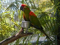 2002-03-11 14-05-06 (steve-stevens) Tags: birds lorikeets buschgardenstampa