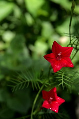 rain on the  (Maki_C30D) Tags: summer squall garden bokeh raindrops  redflower ipomoea cypressvine  starshapedflower