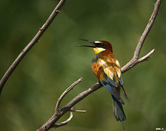 Bee Eater. (Q8LT.net) Tags: camera bird 20d birds canon photographer bigma awesome bee 50500 kuwait 500 eater q8 saleh beeeater 50500mm   vwc   kvwc alghaith animalpicturesaf