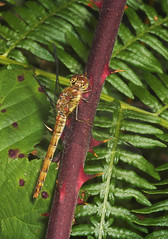 """Common Darter (Sympetrum striolatum)  Dragonfly • <a style=""""font-size:0.8em;"""" href=""""http://www.flickr.com/photos/57024565@N00/225248780/"""" target=""""_blank"""">View on Flickr</a>"""