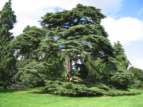 Cedar of Lebanon, Warwick Castle Grounds