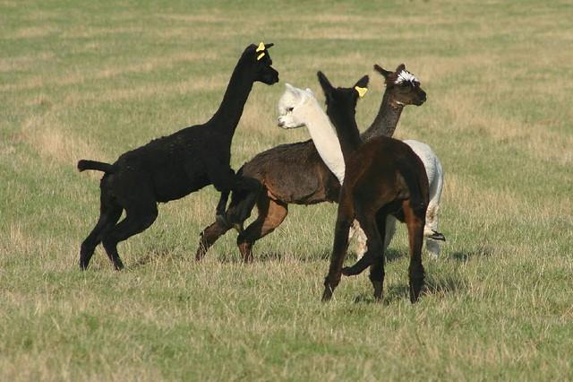 Alpacas in a field near Lewes