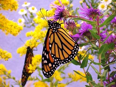 Monarch Pastoral II (Rascaille Rabbit) Tags: butterfly bravo monarch pastoral monarchbutterfly thecontinuum