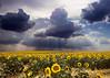 Campo de Girasoles (Haciendo clack) Tags: flowers naturaleza sun sol nature yellow clouds contrast landscape lafotodelasemana bravo olympus 2006 valladolid sunflowers nubes contraste león girasol girasoles e330 100vistas mireasrealm 96points lmff lmff1 lmff2 lmff3 lmff4 lmff5 lmff6 lmff7 specnature olympuse330 haciendoclack abigfave campodegirasoles lfscontraste evolte330 ltytr2 ltytr1 ltytr3 ltytr4 superlativas 20temasfotograficos 20tfpaisaje girsoles misdiez jesúsgonzálezlópez fotosporhaiti2010