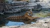 Tiger Spa (fascinationwildlife) Tags: animal mammal predator tiger bengal female pond wild wildlife nature natur national park ranthambhore india summer rock forest djungle asia endangered species tigress big cat