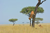 What are you waiting for? Join us in Kenya to enjoy these beautiful cats! 4980b+ (teagden) Tags: lion lioness lions africanlion africanlioness africanlions lionesses jenniferhall jenhall jenhallphotography jenhallwildlifephotography wildlifephotography wildlife nature naturephotography photography nikon wild dkgrandsafaris safari kenyasafari africasafari africansafari safarisunday balanitetree balanite tree jumping coingdown descending bigcat bigfive masai mara masaimara masaimarakenya masaimaralion kenya kenyawildlife kenyaafrica kenyaplains africa africanwildlife african africansavannah