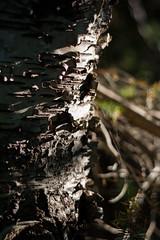 Birch Shadows (Clif Budden) Tags: park trees canada tree nature outdoors stjohns sunny august bark environment birch nl bowringpark 2015