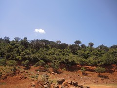 Kenya (Rift Valley) Amazing Candelabra trees in savanna