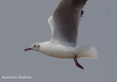 Brown headed gull (asheshr) Tags: bird gull orissa gullinflight brownheadedgull odisha