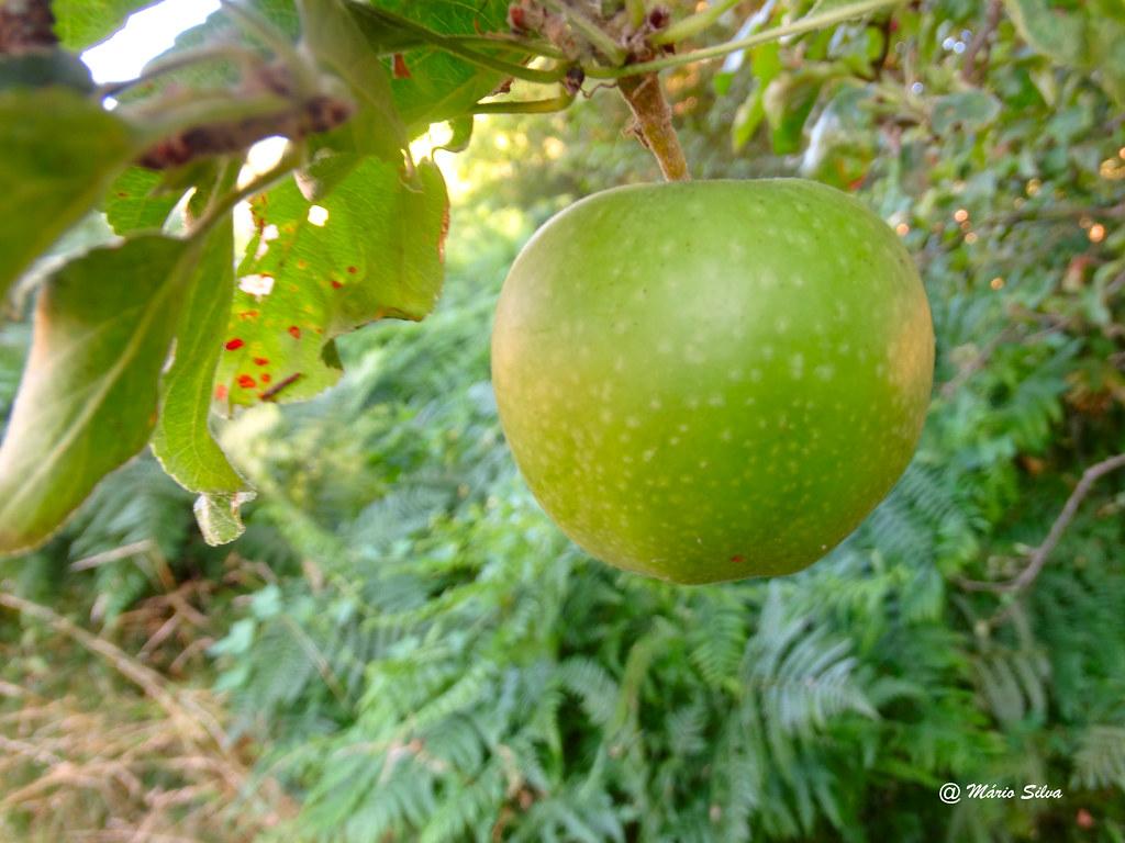 """Águas Frias (Chaves) - ... maçã a """"amadurar"""""""