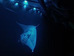 Beneath the Surface (H McCann) Tags: ocean light tourism swim island lights hawaii shark fly ray underwater snorkel pacific wing surface tourist tourists snorkelling rays bigisland fin manta kona fins plankton pectoral sharkfamily