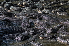 Man Overboard!.. Nevermind (Darts5) Tags: closeup canon reptile alligator alligators americanalligator 7d2 ef100400mm 7dmarkii canon7d2 canon7dmarkii 7dmarkll canon7dmarkll ef100400mmlll ll7d 7d2canon