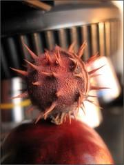 Górcső alatt az ősz (Tölgyesi Kata) Tags: workplace autumn vadgesztenye microscope aesculus buckeye horsechestnut withcanonpowershota620 ősz herbst mikroszkóp