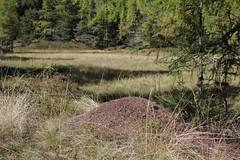 Nockberge (Harald Reichmann) Tags: nest natur landschaft wald insekt ameise nockberge formicarufa ameisenhaufen rotewaldameise wöllanernock