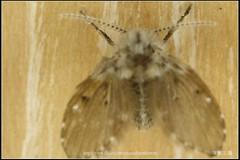_3X_APSC_02 () Tags: macro canon flickr f e wen wesley mp 28 mm ho dslr f28 animalia arthropoda chen 65 1x diptera 2x  4x insecta mpe 65mm 3x   5x hexapoda pterygota neoptera endopterygota howen  psychodidae  450d nematocera 15x  psychodomorpha albipunctata clogmia  chenhowen   wesleychen  clogmiaalbipunctata psychodoidea