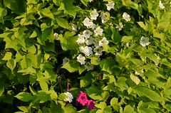 Beauty Spectrum (Metamorfa Studio) Tags: flowers hojas leafs whiteflowers greenleafs photofree freephotos opensourcephoto publicdomainphotos freecommercialphotos totallyfreephotos noattributionphotosources