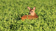Chevreuil : chevrillard - Phalempin - Roe deer (Pap_aH) Tags: france animal forest foret roedeer nord chevreuil 2015 papah phalempin chevrillard offlarde