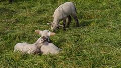 Darf ich mich dazu kuscheln? (ursula.kluck) Tags: wiese gras schafe deich lmmer steinhorsterbecken delbrck