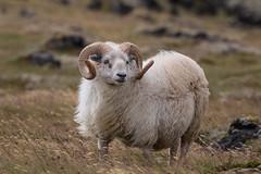 Icelandic Sheep (bohnengarten) Tags: pet island eos iceland sheep reykjavik haustier icelandic schaf budir 70d snaefellsjkull islandschaf