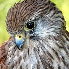 bird suffolk raptor falcon trinitypark ipswich kestrel tinnunculus falco falcotinnunculus henhamsteamfair