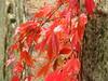 red (germancute) Tags: autumn leaves laub herbst blatt blätter coth