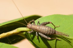Arachnocephalus vestitus (Gilles San Martin) Tags: france orthoptera gard sanilhac